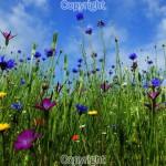 Gerald Robinson: Summer wildflowers.Fujifilm X10 Digital Camera